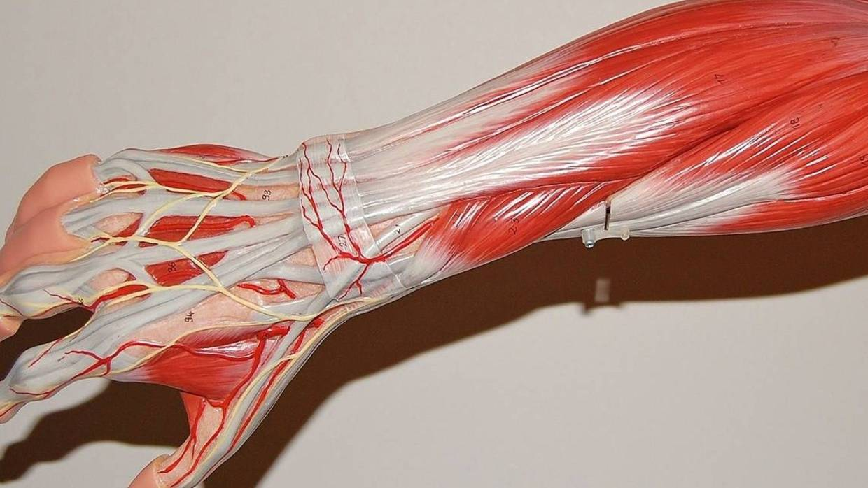 An illustration of the muscles in the human torso